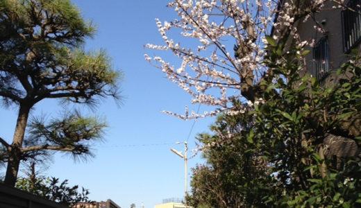 鵠沼近辺のお花見スポット「長久保公園」と桜の開花情報